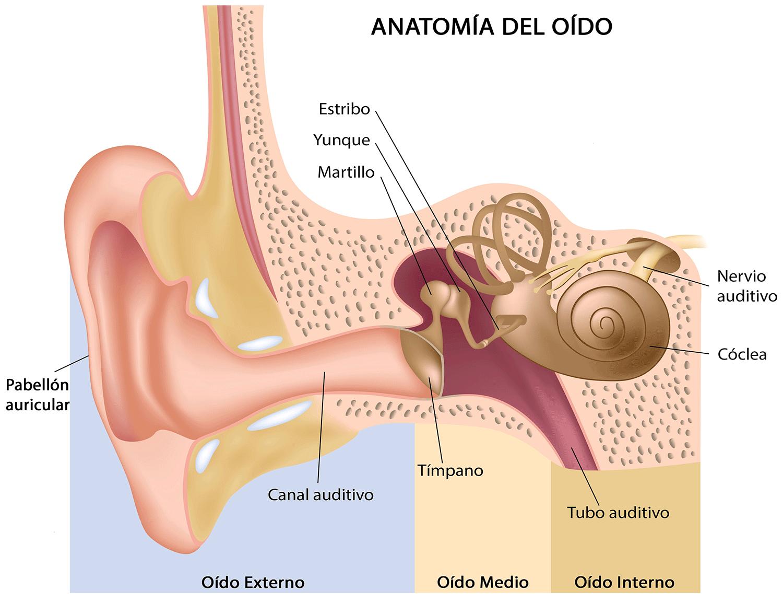 Están relacionados el oído y el equilibrio? | Medical Óptica