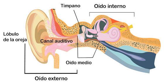 ¿Cómo funciona el oído interno?